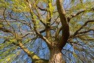 keltská znamení, stromy 15