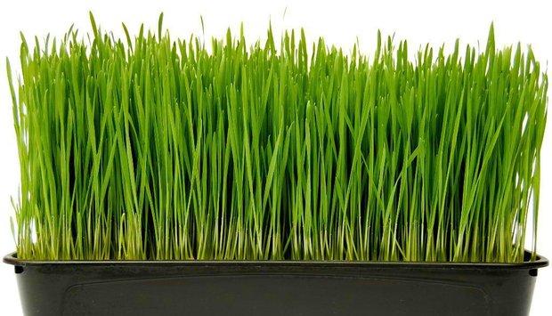 pšenice bedýnka