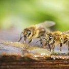 včely 1