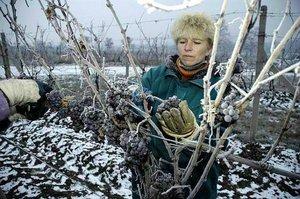 ledové víno sběračky
