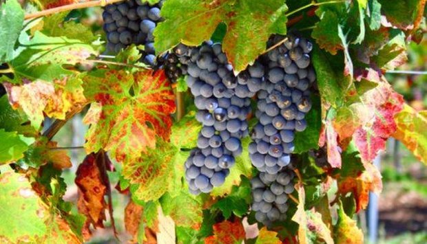 program vinice