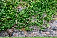 keltská znamení, stromy 1