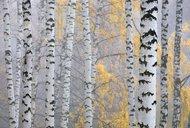 keltská znamení, stromy 3